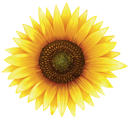 sunflower clipart clipground