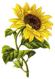 7 Best Sunflower flower images.