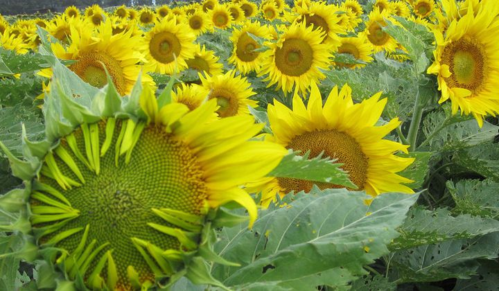 Research Reveals How and Why Sunflowers Turn Their Golden.