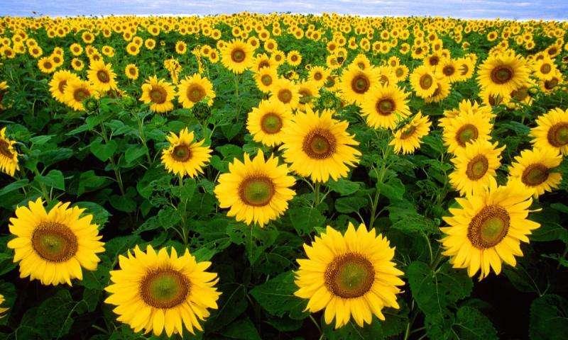 How sunflowers track the sun.