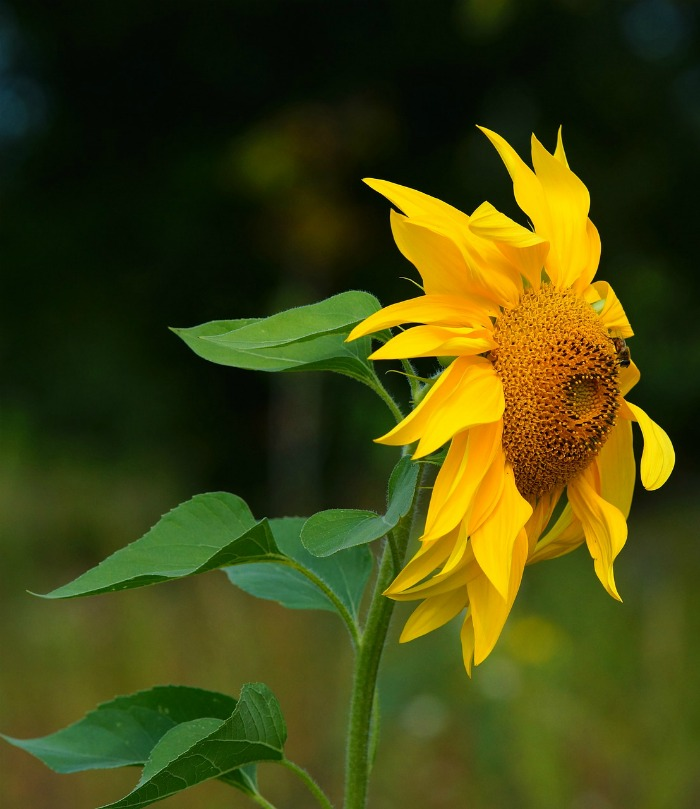 Sunflower Quotes.