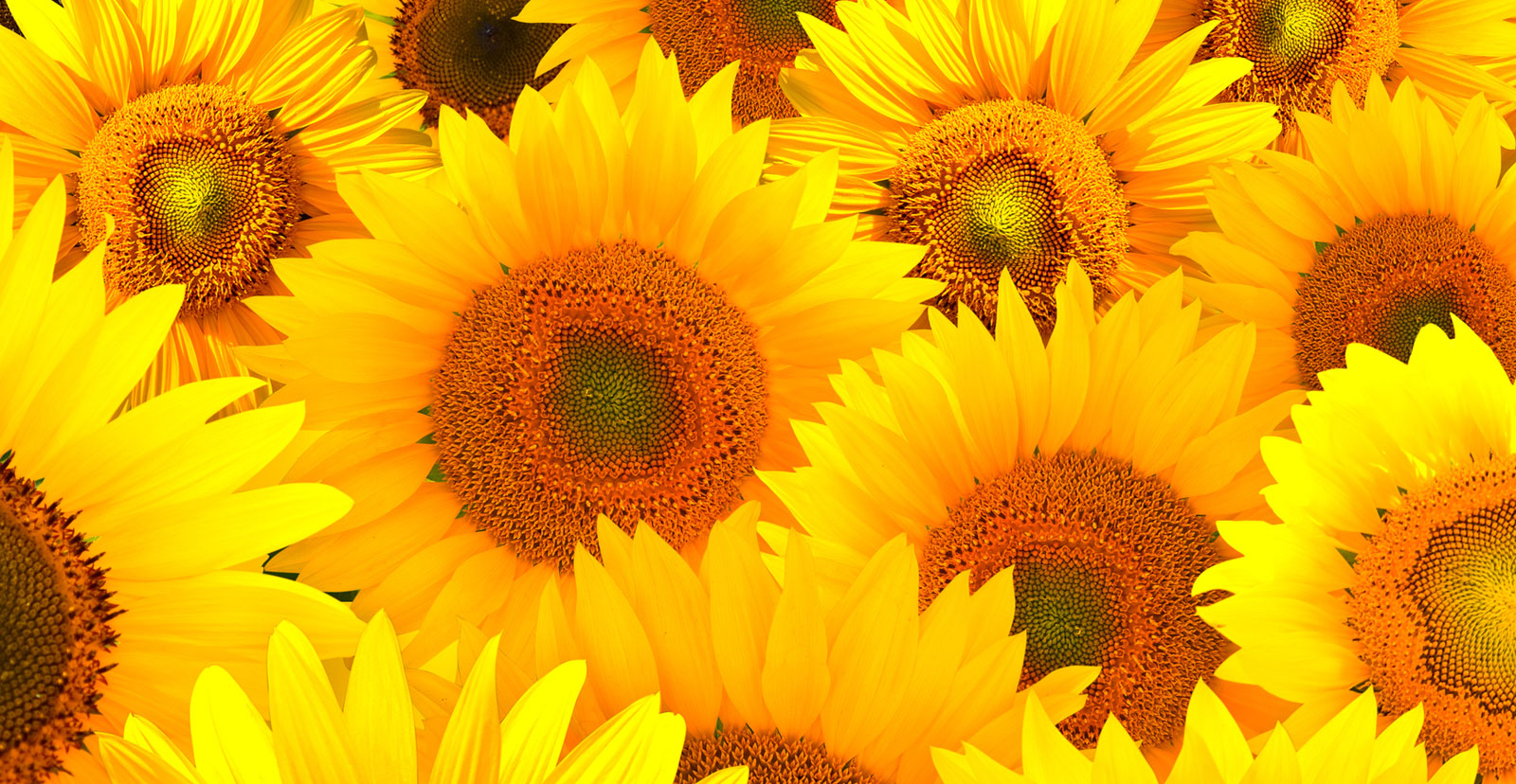 Symbolic Sunflower Meaning and Sunflower Insight on Whats.