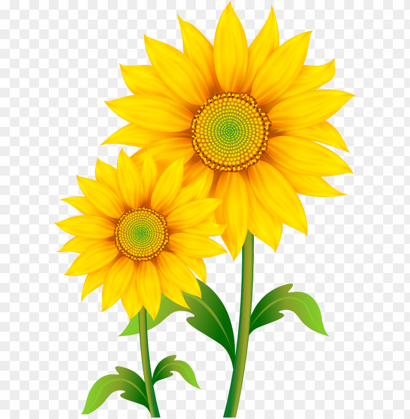 raphic royalty free stock sunflowers clipart png image.