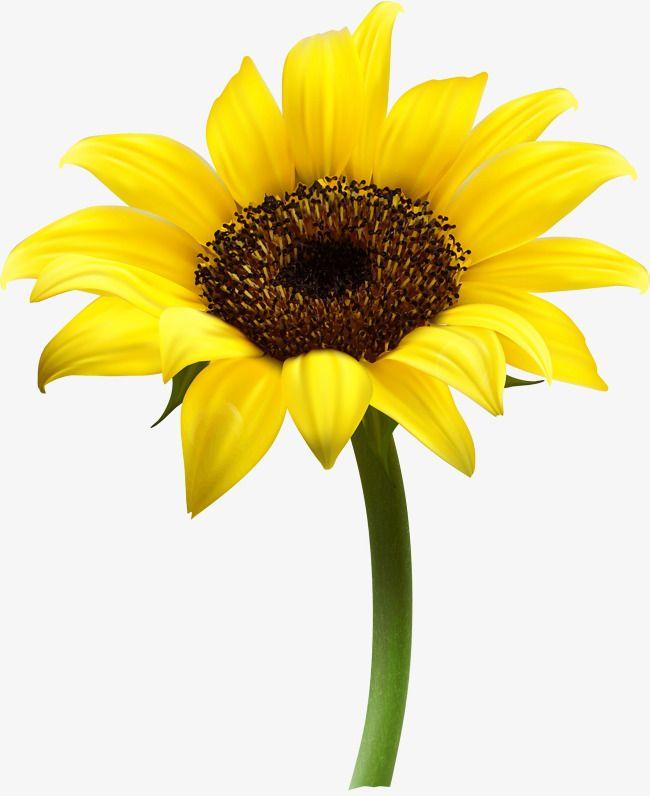 Vector Sunflower, Sunflower Clipart, Sunflower, Yellow PNG.