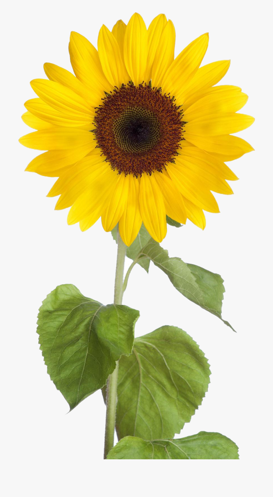 Sunflower Free Sunflower Clip Art Images Black And.