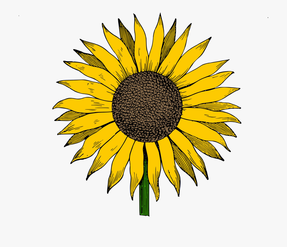 Sunflower Hd Clipart Photos The Cliparts Transparent.