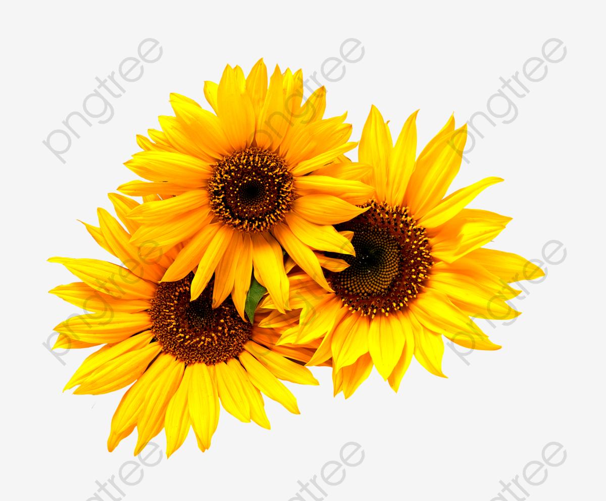 Little Sunflower, Sunflower Clipart, Yellow, Black PNG.