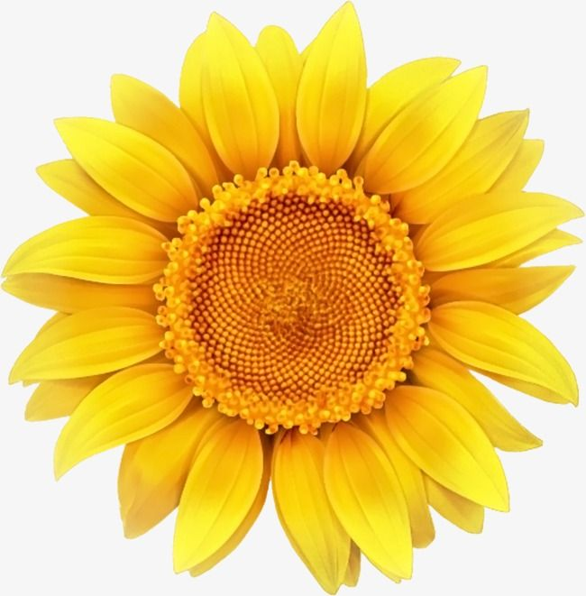Sunflower, Sunflower Clipart, Yellow Flowers PNG Transparent.