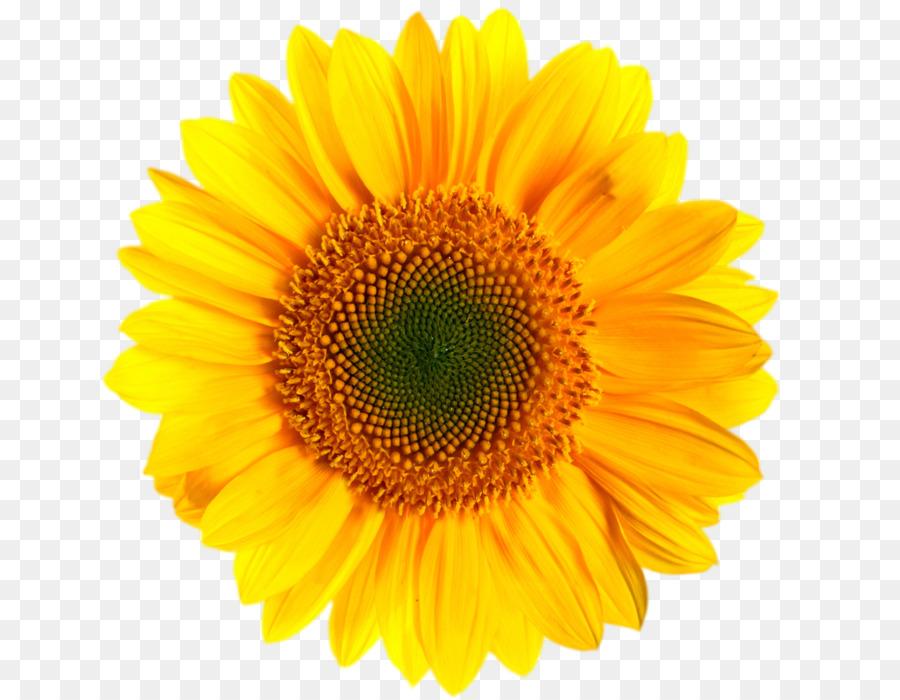 Sunflower Clipart clipart.