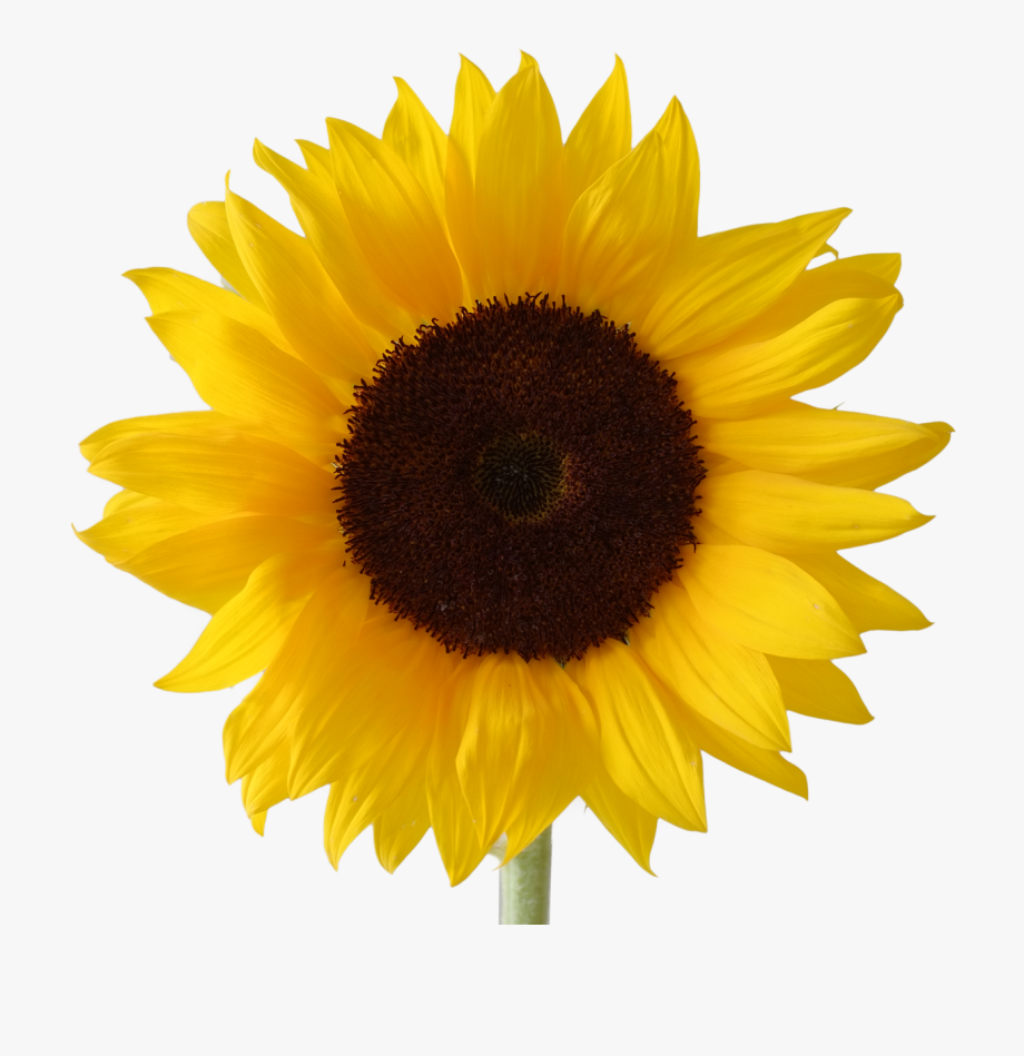 Icon Free Download Sunflower Vectors.