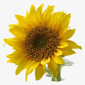 Sunflower Clipart PNG Images, Free Transparent Sunflower.