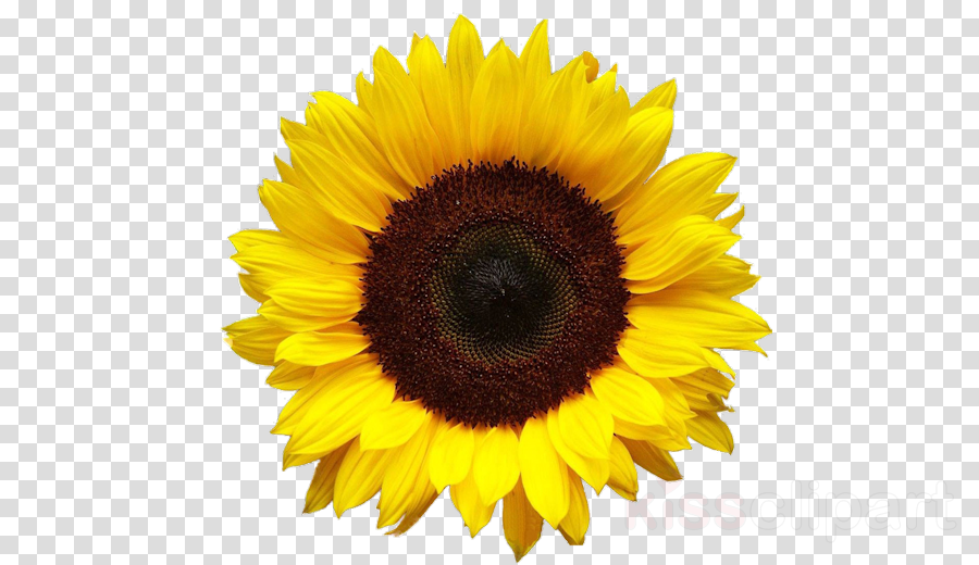 Sunflower Cartoon clipart.