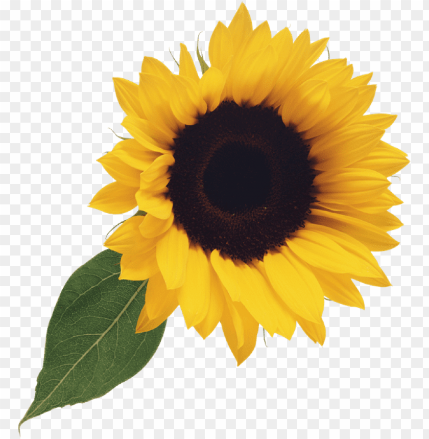 sunflower clipart png PNG image with transparent background.