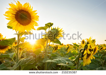 Sunflower Field Stock Photos, Royalty.