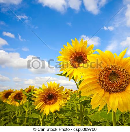 Stock Photography of sunflower field csp8089700.