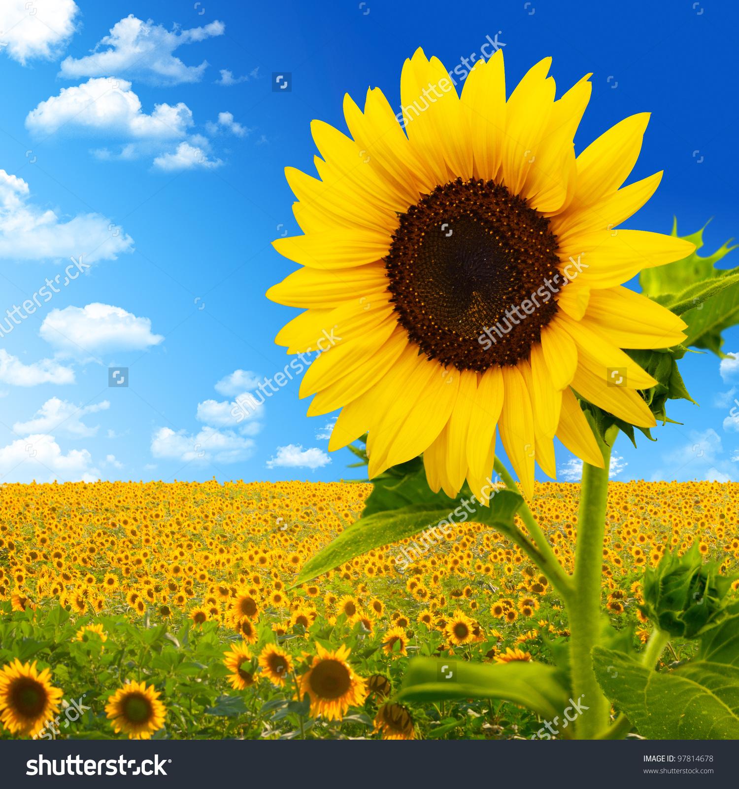 Beautiful Landscape Sunflower Field Over Cloudy Stock Photo.
