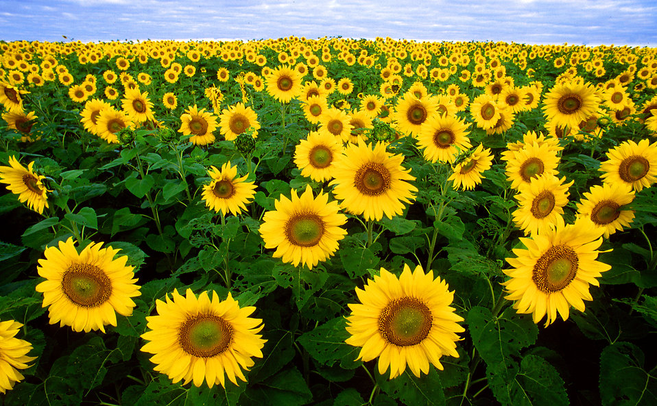 Sunflower Field Clip Art.
