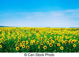 Sunflower Field Clip Art.