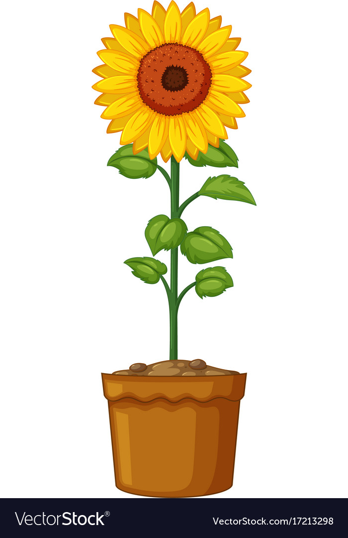 Sunflower In A Pot.