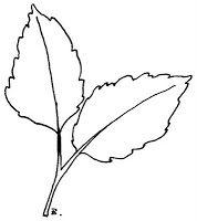 Sunflower Leaves (Leaf #4).