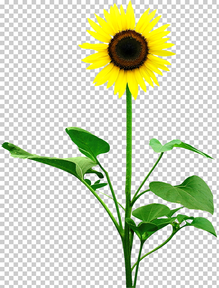 Common sunflower Leaf Money Photography, sun flower PNG.