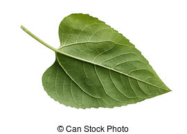Sunflower leaf Stock Photos and Images. 25,963 Sunflower leaf.