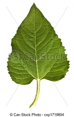 Stock Photo of sunflower leaves isolated on a pure white.