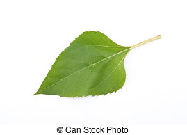Stock Photo of Sunflower leaf.
