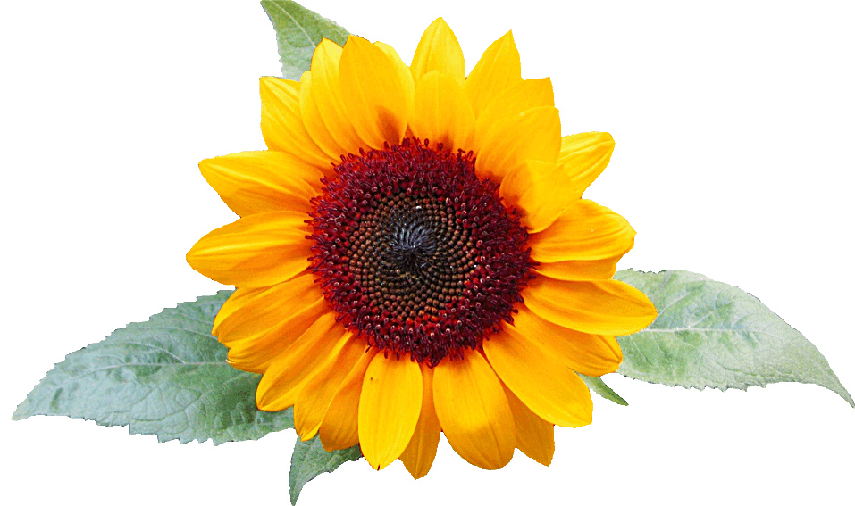 Sunflower with leaves clipart, lge 13 cm wide.