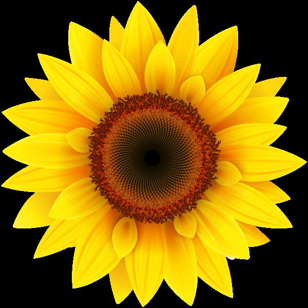 Sunflower, Sunflowers PNG Bouquet Transparent Images Free.