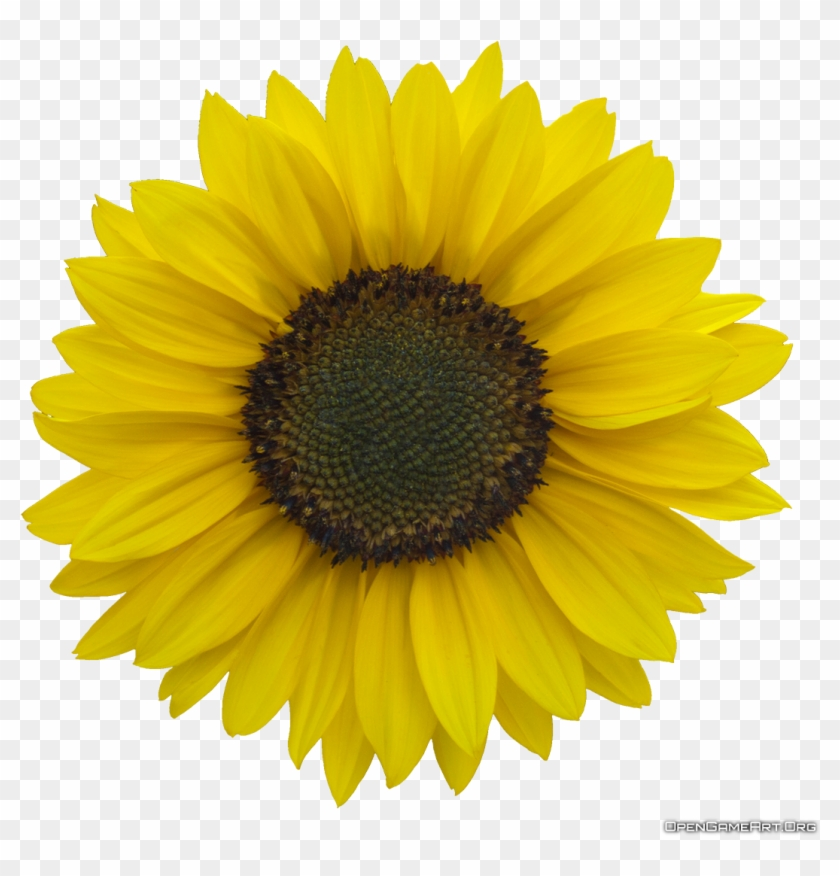 Sunflower Transparent Png Pictures.