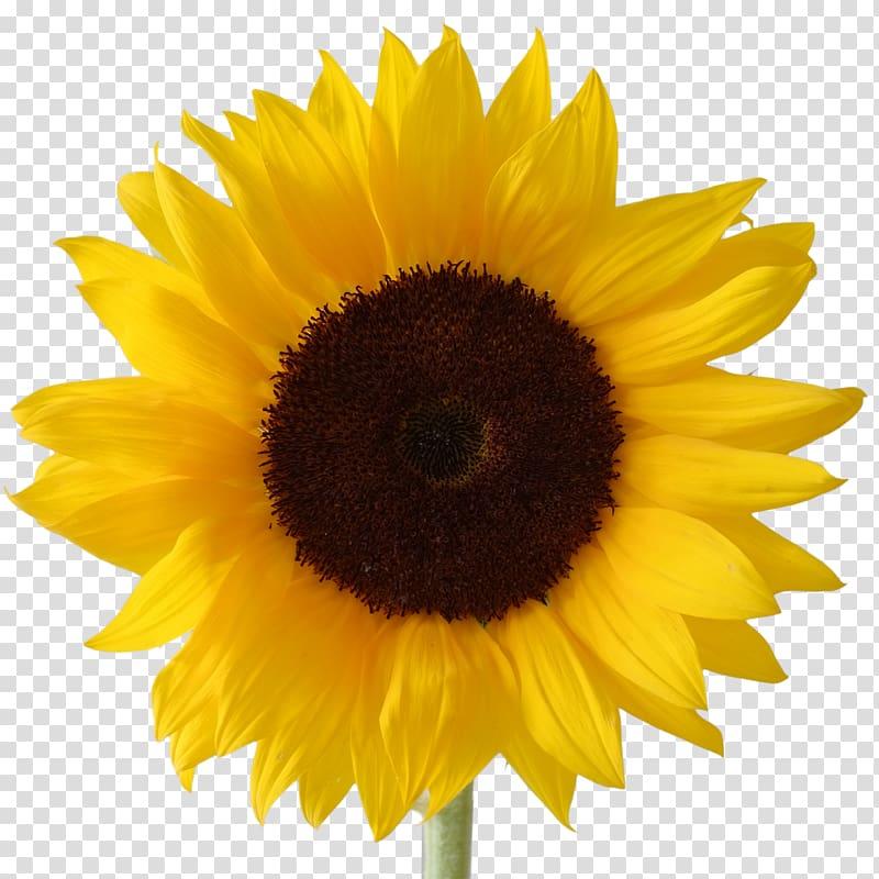 Sunflower, Desktop , Icon Free Sunflower transparent.