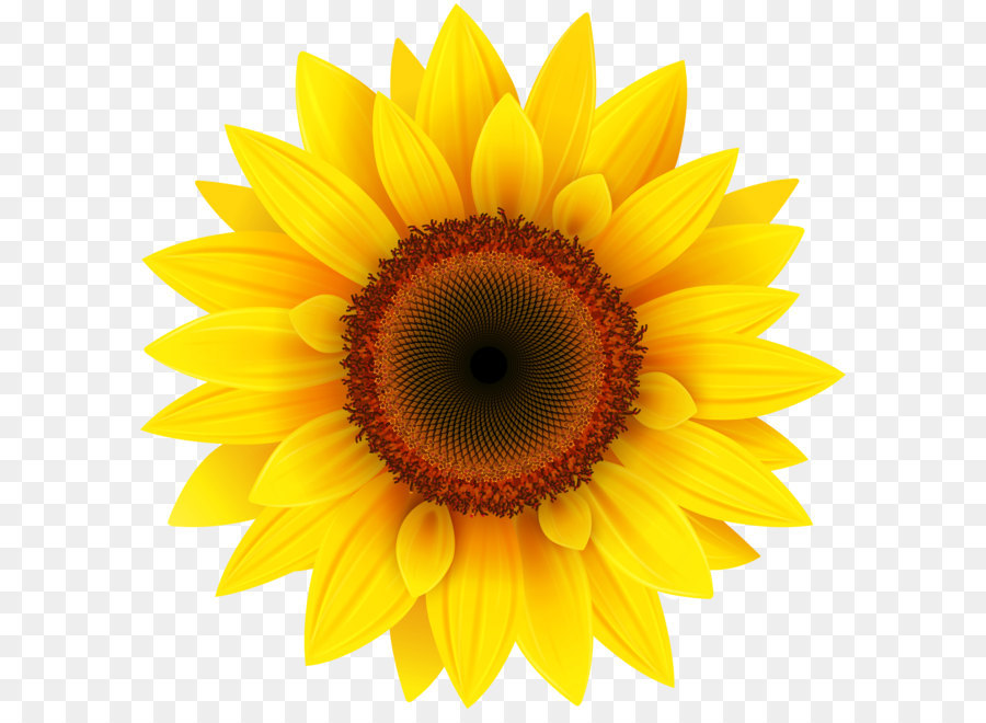 Sunflower Background png download.