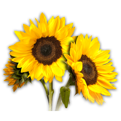 Sunflower PNG Images Transparent Free Download.