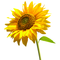 Download Sunflowers Free PNG photo images and clipart.
