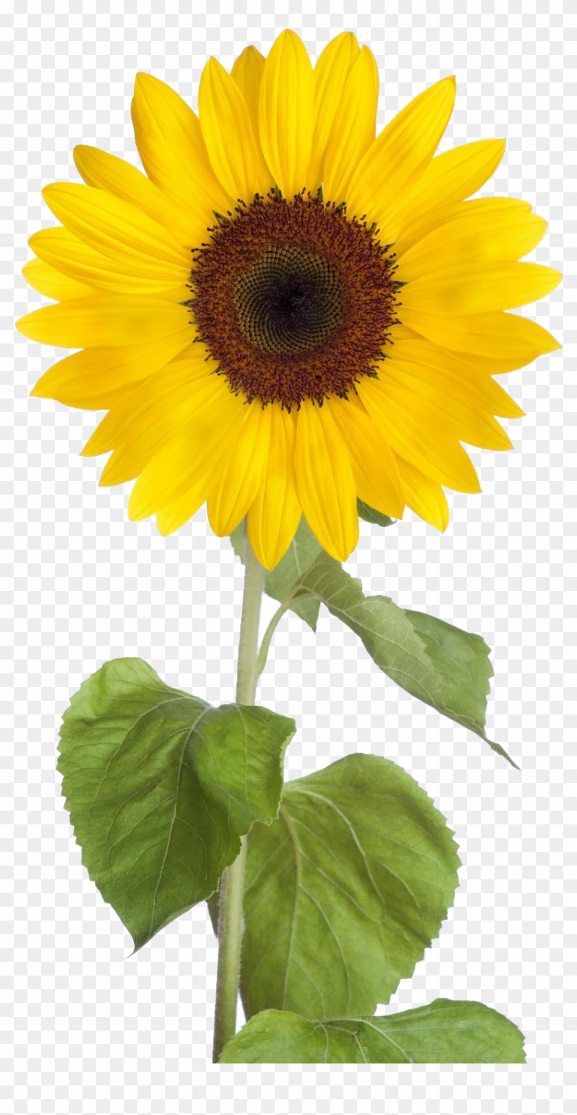 Sunflower Png Free Download.