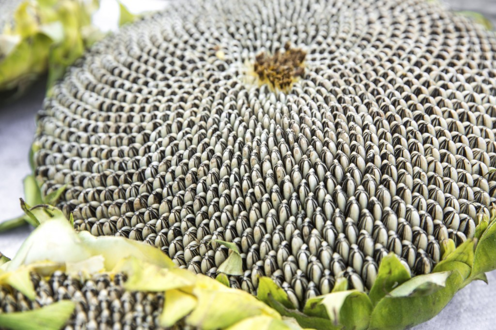 Harvesting Sunflowers: How To Harvest Sunflower Seeds.