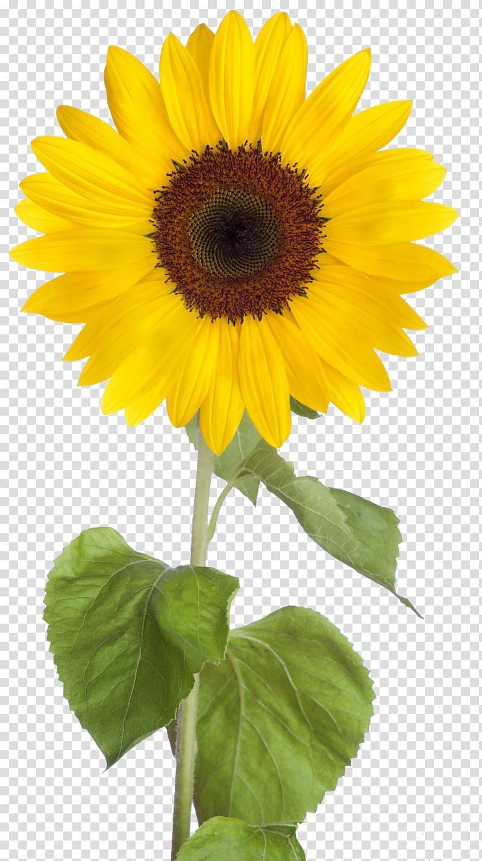 Common sunflower Desktop , sunflower transparent background.