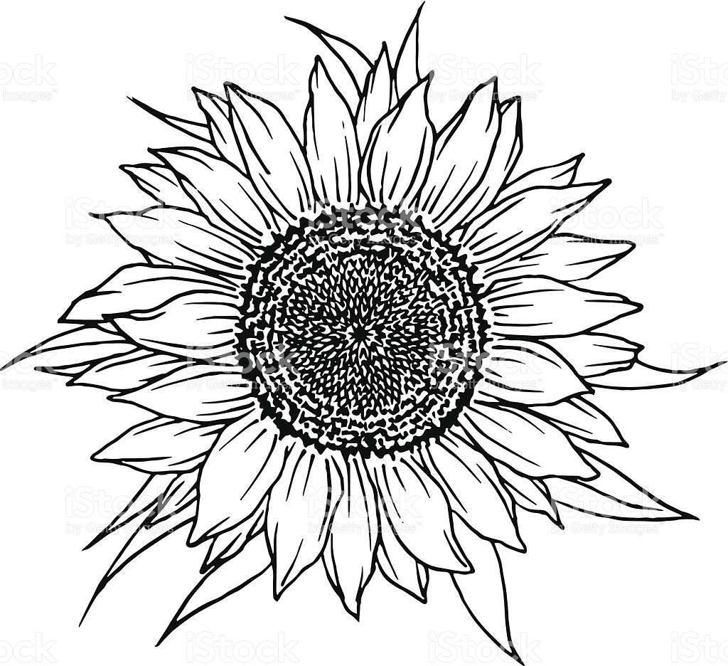 Sunflower Vector Free at GetDrawings.com.