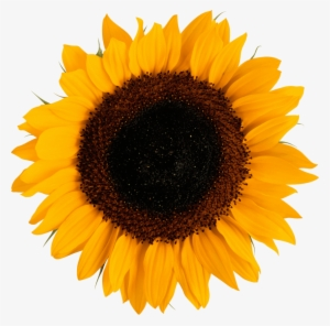 Sunflower Vector PNG, Transparent Sunflower Vector PNG Image.
