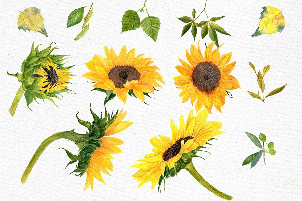 Sunflower Watercolor clipart by LeCoqDesign on.