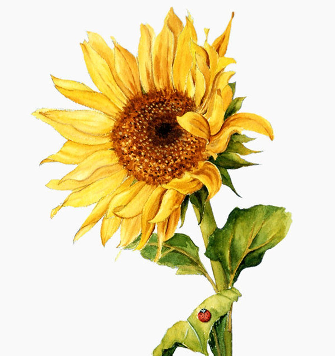 Sunflower Watercolor Clipart, Rustic Fall Flower, Vibrant.