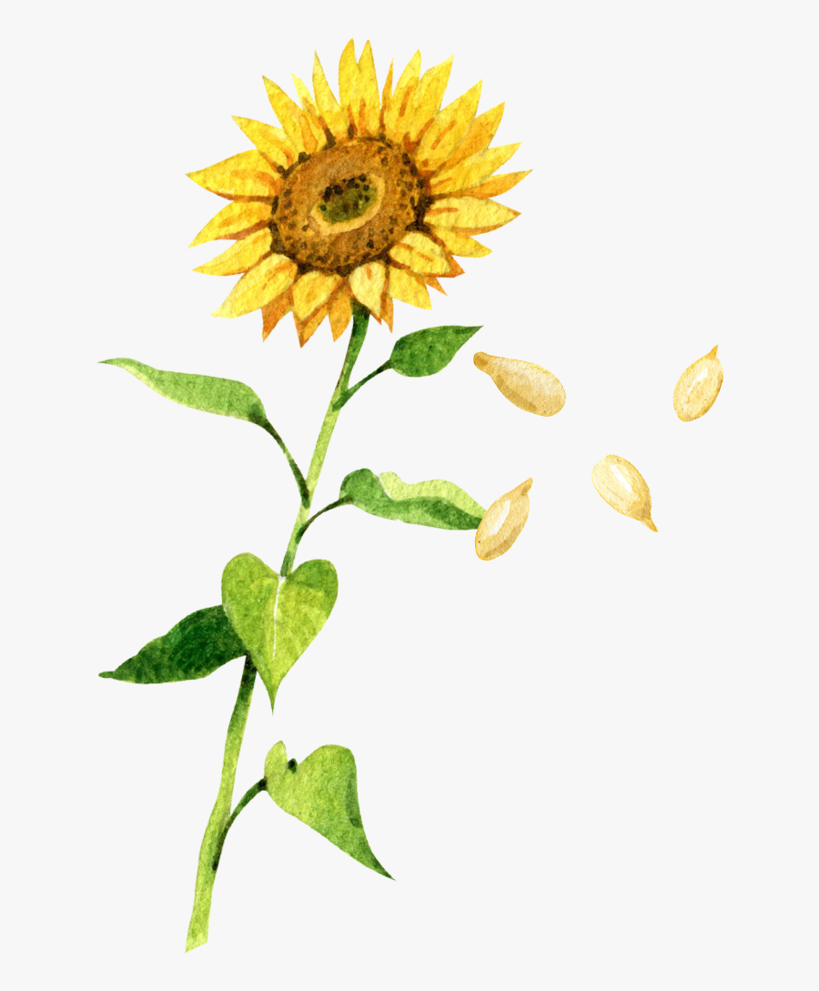 Sunflower With Petals Falling Drawing , Free Transparent.