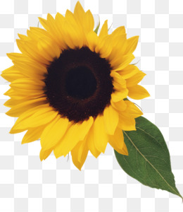 Sunflower PNG.