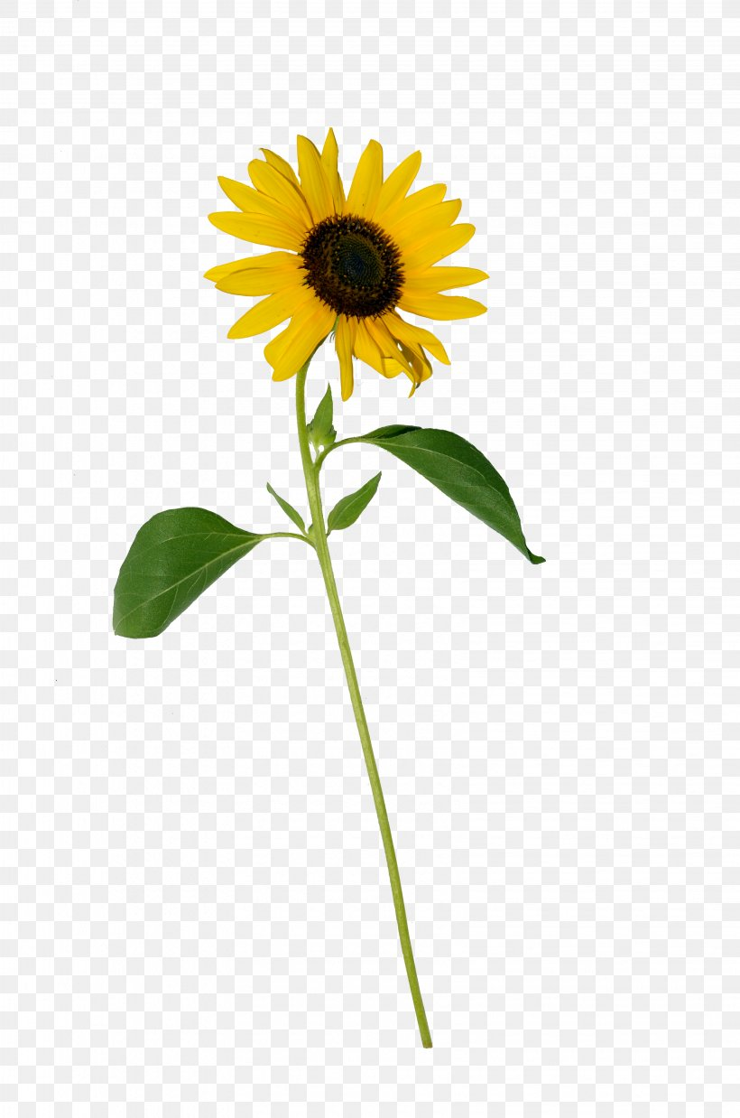 Common Sunflower Photography Clip Art, PNG, 3264x4928px.