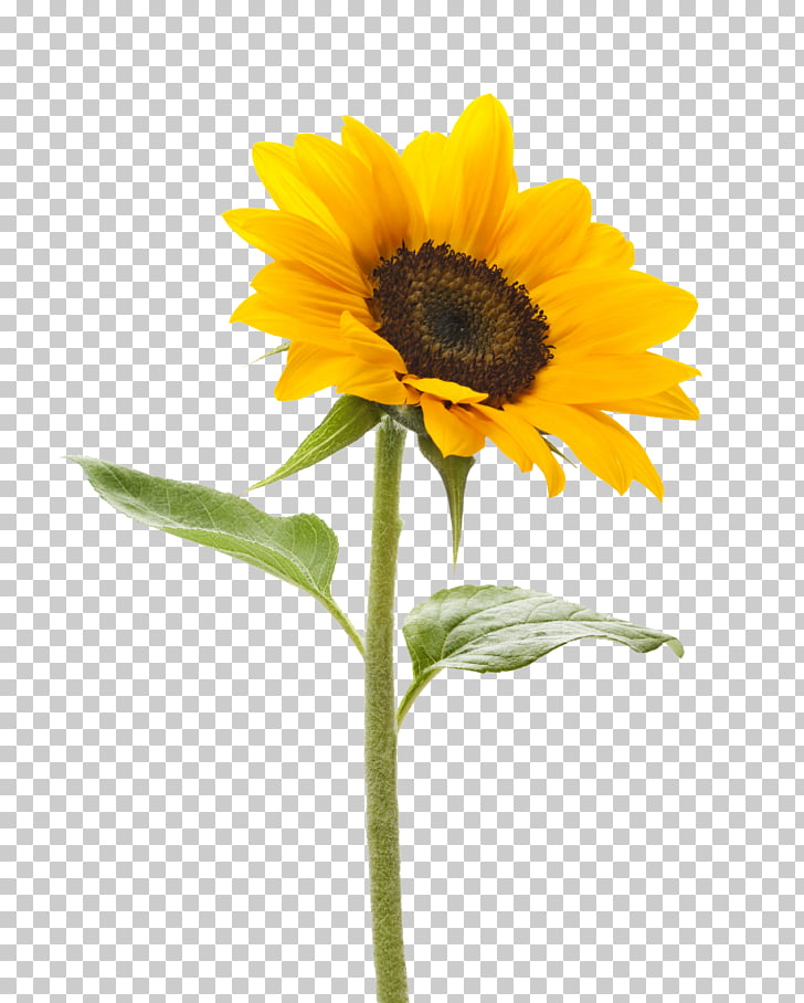 Common sunflower Stock photography stock.xchng Color.