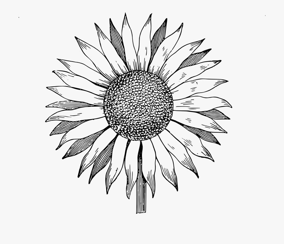 Sunflower Free Download Best On X Clip.