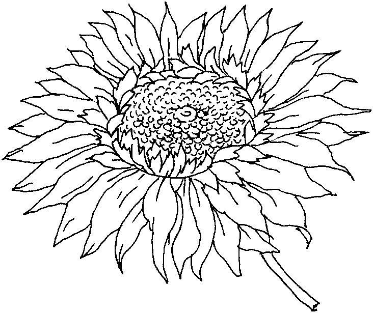 sunflowers clipart to color Clipground