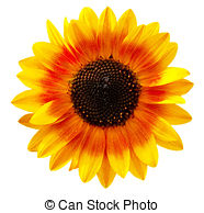 Sunflower Stock Photos and Images. 76,723 Sunflower pictures and.