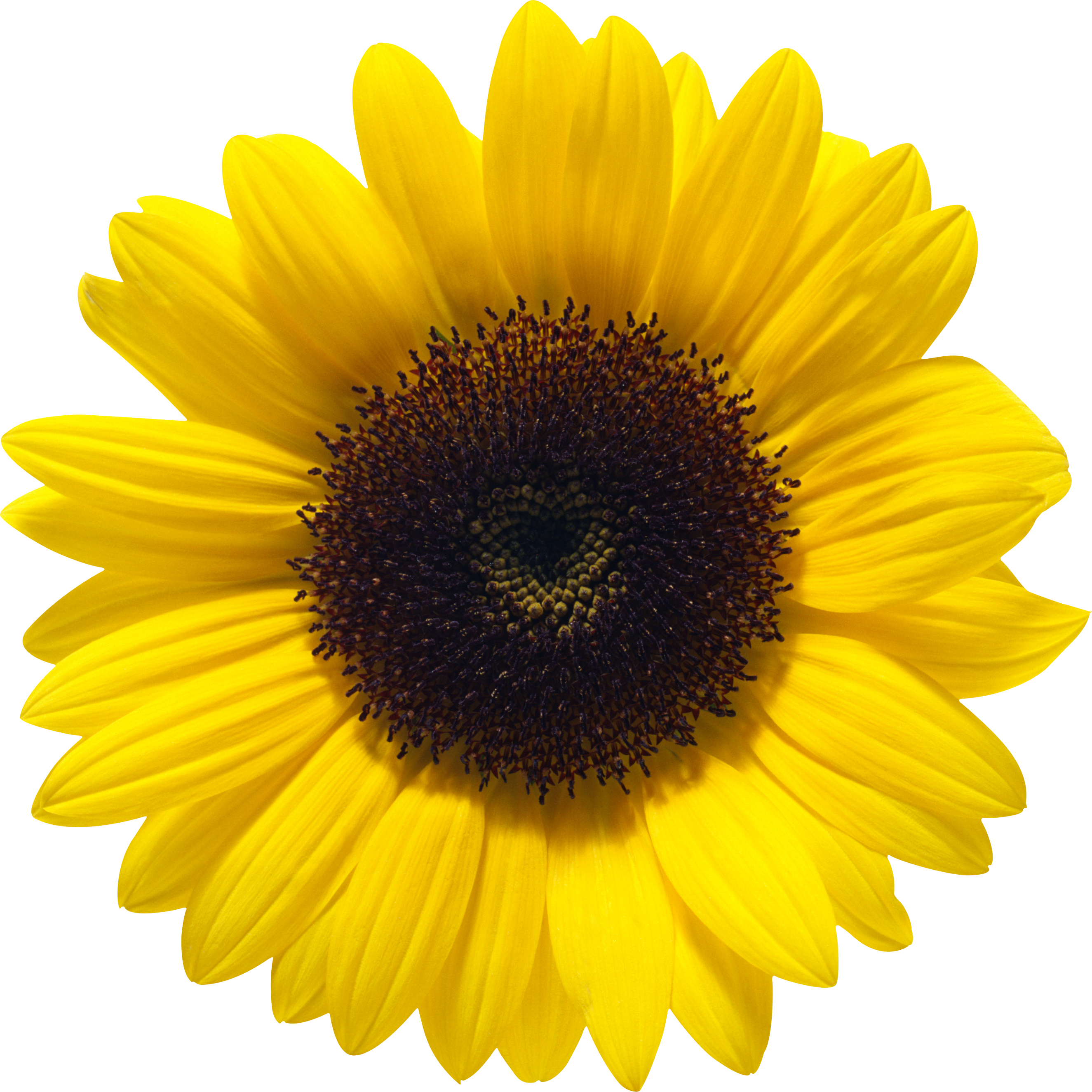 Sunflower PNG images free download.